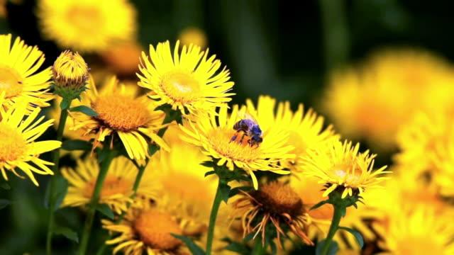 Biene auf gelber Berufkraut Cinemagramm