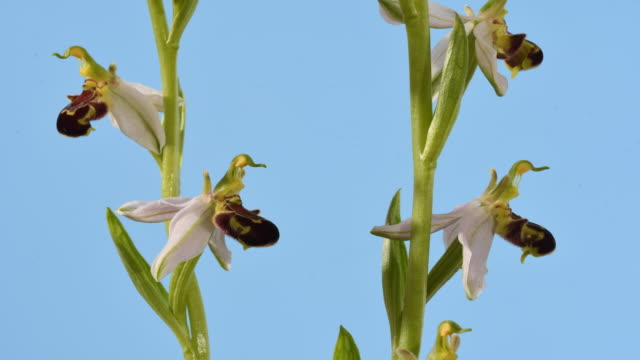 bee orchid ophrys apifera 4 flowers static time lapse. details of formed flowers mid. isolated against blue background. - oxfordshire stock videos & royalty-free footage