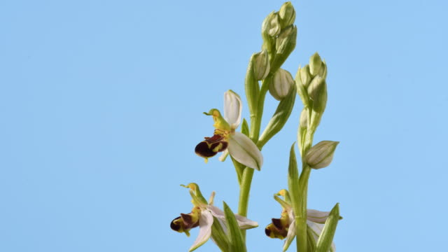 bee orchid ophrys apifera flower opening time lapse. flowers opening, mid close up. isolated against blue background. - oxfordshire stock videos & royalty-free footage