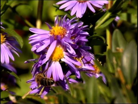 vídeos de stock, filmes e b-roll de abelha pal - pistilo