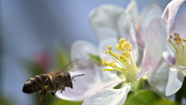 slo mo bee picking up pollen from a stamen - baumblüte stock-videos und b-roll-filmmaterial