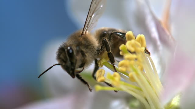 vídeos de stock, filmes e b-roll de slo mo bee picking up pollen - abelha