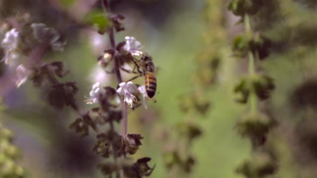 stockvideo's en b-roll-footage met bee polinating - honingbij