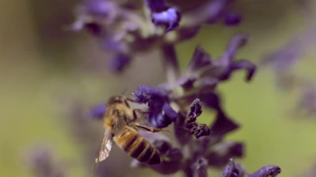 bee polinating - insetto video stock e b–roll