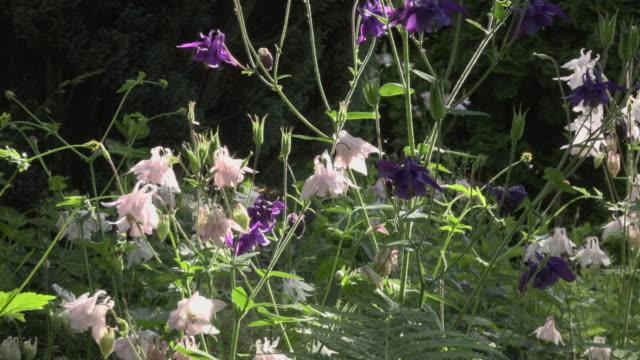 ZO / A bee pollinates a Columbine flower in garden