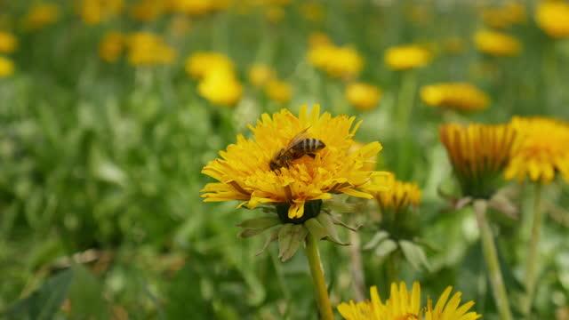 vídeos y material grabado en eventos de stock de abeja polinizan un néctar de búsqueda de flores amarillas - tallo