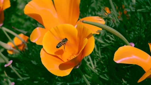 Bee pollinates orange flower, poppy, then fly's away - Static