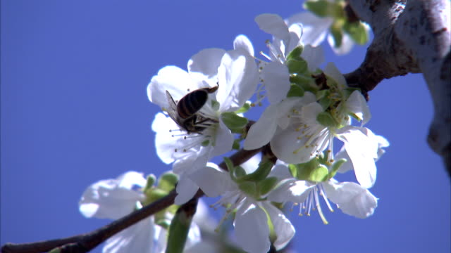 A bee pollinates white blossoms on a twig.