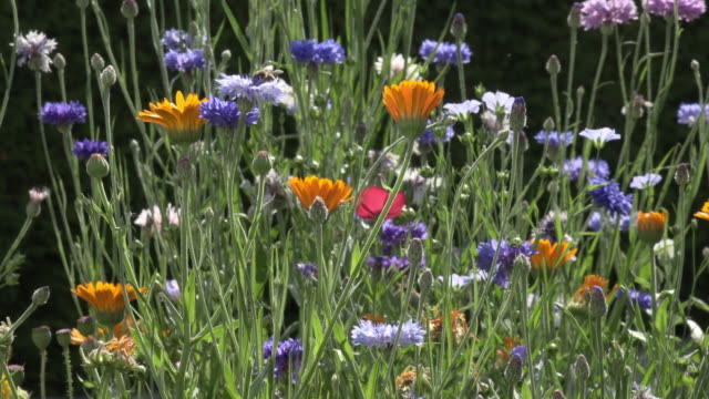 a bee pollinates wildflowers in garden - wildflower stock videos & royalty-free footage