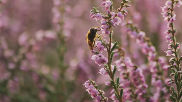 bee pollinating heather in the uk - heather stock videos & royalty-free footage