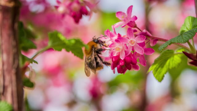 Bee pollinating pink flower - Slow Motion