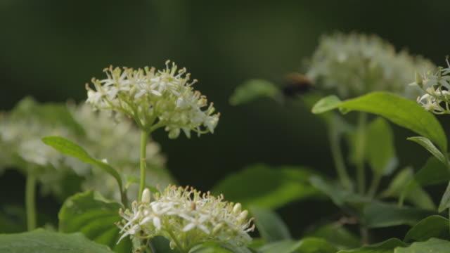 bee polllinating rowan tree - サウスダウンズ点の映像素材/bロール