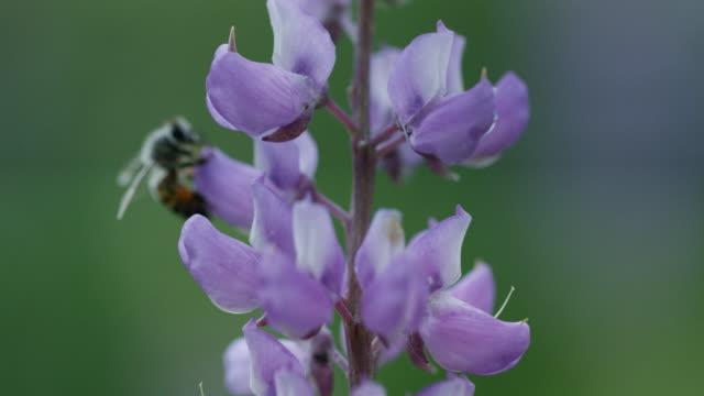 stockvideo's en b-roll-footage met bee purple flower cu 02 yosemite - honingbij
