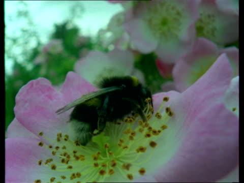 cu, bee resting on  blooming shrub rose - キュー点の映像素材/bロール