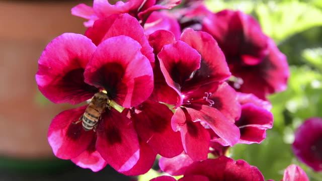 ms bee roaming on geranium flower / landshut, bavaria, germany - ゼラニウム点の映像素材/bロール