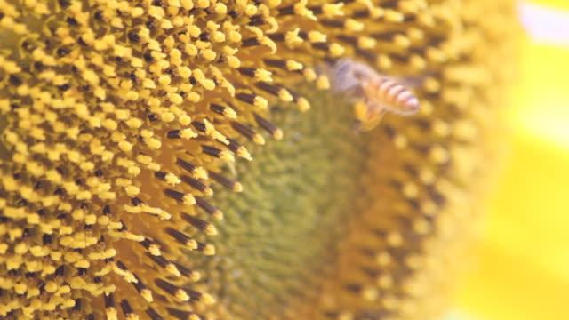 biene reiben beine sammeln pollen bälle, während sie die piste, dof. - staubblatt stock-videos und b-roll-filmmaterial