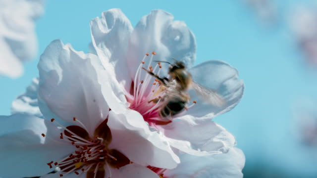 a bee sitting on apricot flower - foraging stock videos & royalty-free footage