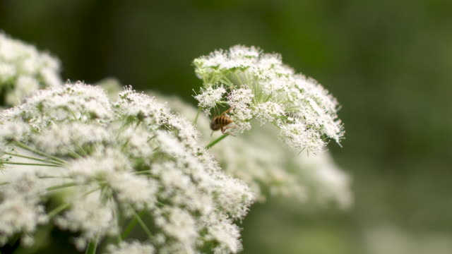 a bee sitting on cow parsley - flower head stock videos & royalty-free footage