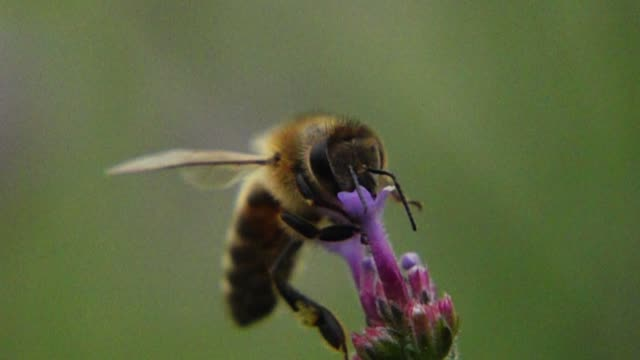 bee sucking verbena bonariensis flower's honey - bumblebee stock videos & royalty-free footage