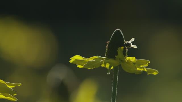 stockvideo's en b-roll-footage met bee sunflower cu yosemite - honingbij