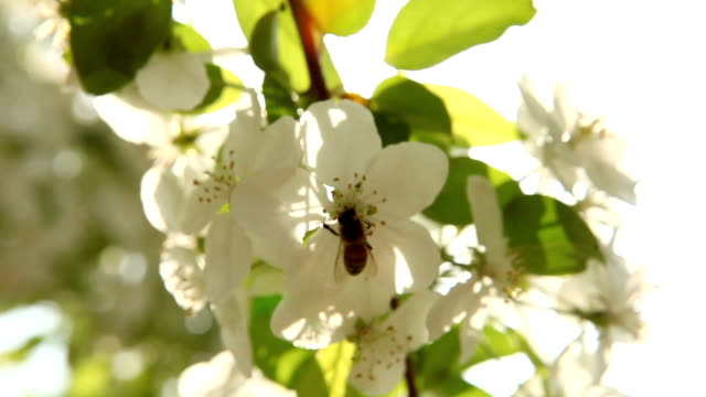 bee sunlight - fruit tree stock videos & royalty-free footage