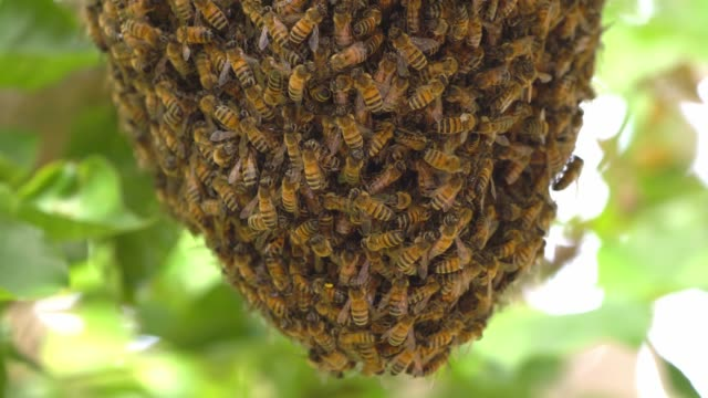 vídeos de stock, filmes e b-roll de a bee swarm on a tree - abelha