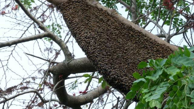 vídeos de stock, filmes e b-roll de enxame de abelhas no ramo de árvore - animal de trabalho