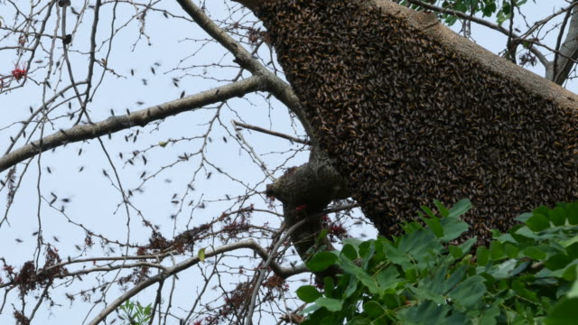 bee swarm on tree branch - animals in the wild stock videos & royalty-free footage