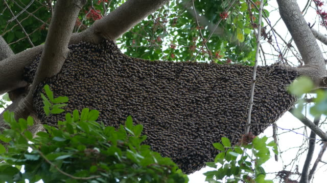bee swarm on tree branch - posizione descrittiva video stock e b–roll