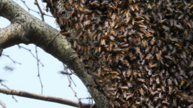 bee swarm on tree branch , zoom out - animals in the wild stock videos & royalty-free footage