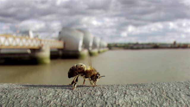 vídeos de stock, filmes e b-roll de a bee takes off from a wall by a river - abelha obreira