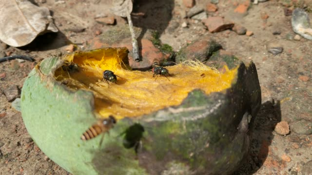 bee taking mango that partially eaten by bat seen on ground - eaten stock videos & royalty-free footage