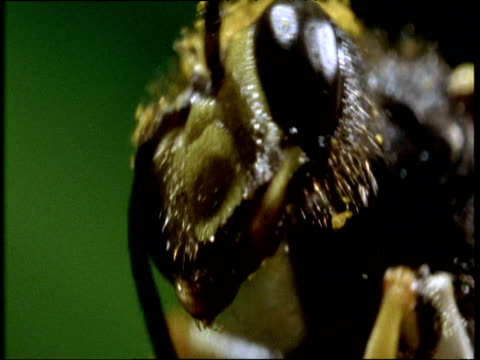 bee using its legs to brush pollen away from its face - pollen grain stock videos & royalty-free footage