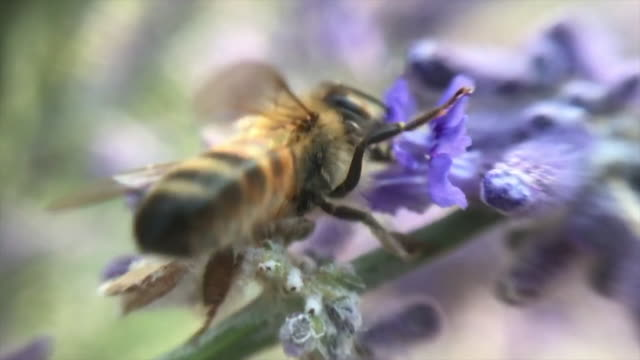 bee - buzzing stock videos & royalty-free footage
