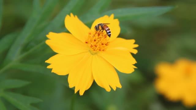 vídeos de stock, filmes e b-roll de abelha - abelha obreira