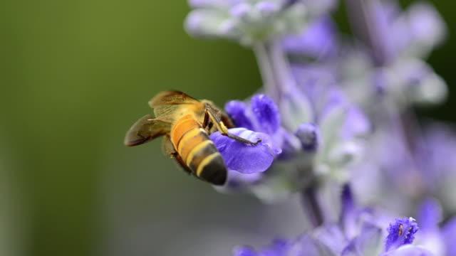 bee - lavender stock videos & royalty-free footage