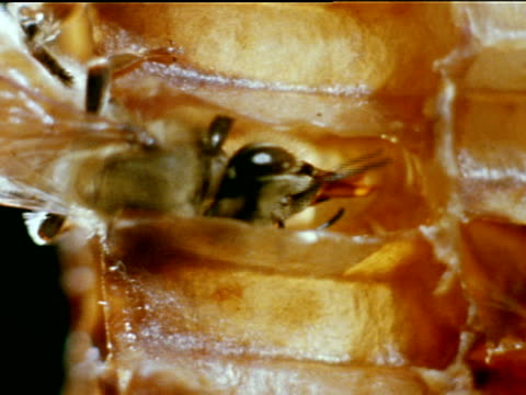 vídeos de stock, filmes e b-roll de bee w/ half of body in cell holding nectar bee lapping w/ proboscis in flower nectar at bottom conversion honey evaporation food - polinização