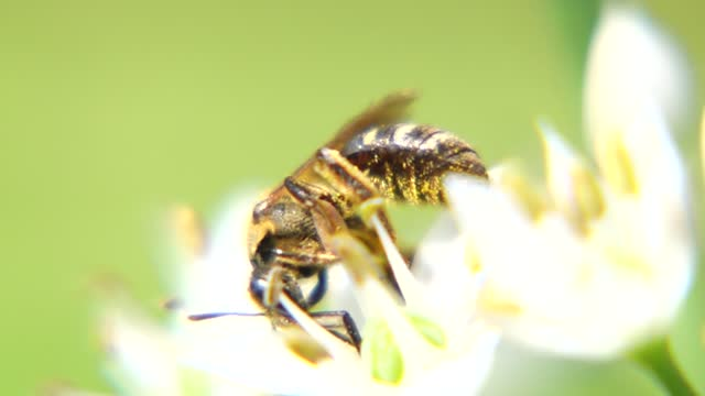 bee with chinese chive flower under sunshine - chive stock videos & royalty-free footage