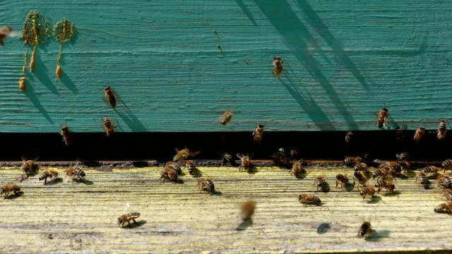 vídeos de stock, filmes e b-roll de trabalhadores de abelha coletando pólen e trazê-lo na colmeia na primavera - mel