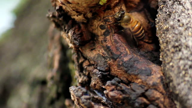 bee working in hollow of tree - animal markings stock videos & royalty-free footage