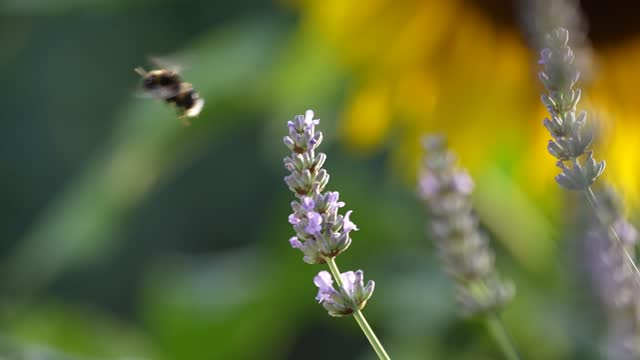 GBR: British Bees And Butterflies Collect Nectar