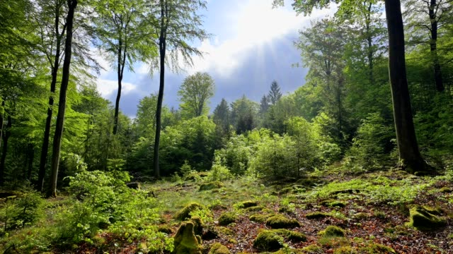 beech forest after rain with sun in spring - woodland stock videos & royalty-free footage