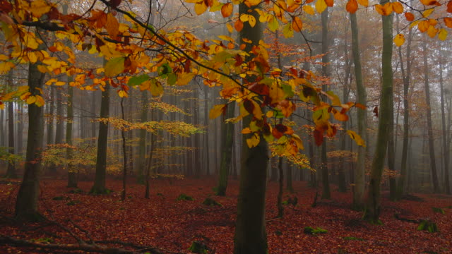 beech forest in autumn - beech tree stock videos and b-roll footage