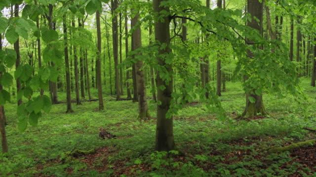 vídeos y material grabado en eventos de stock de beech (fagus sylvatica) forest in spring with lush green foliage. hainich national park, thuringia, germany. - árbol de hoja caduca