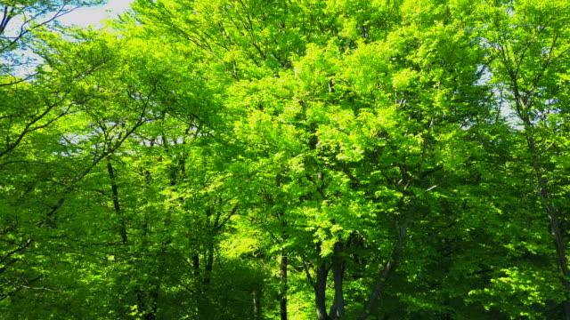 Beech forest in Summer