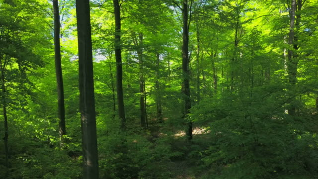 beech forest in summer - beech tree stock videos and b-roll footage