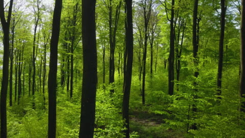 beech forest - deciduous tree stock videos & royalty-free footage