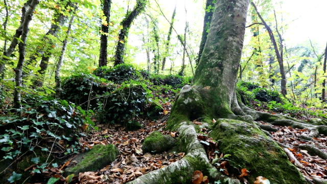 beech forest - nadelbaum stock-videos und b-roll-filmmaterial
