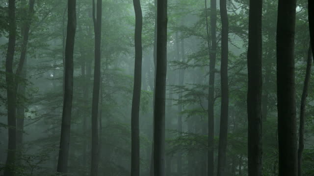 beech forest with fog