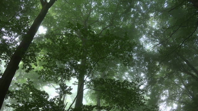 beech forest with fog - beech tree stock videos and b-roll footage
